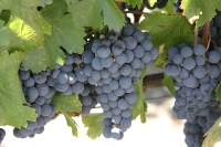 Malbec Grapes © IanL