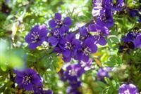 Guayacan flowers ©