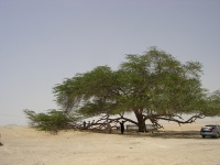 The Tree of Life, near Jebel Al Dukhan © solvo