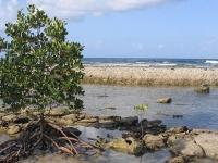 Red mangrove © Muriel Gottrop