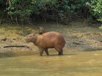 Capybaras © Warren H