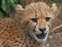Cheetah Cub © Muhammad Mahdi Karim