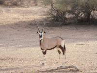 Gemsbok © Malapo Country Lodge