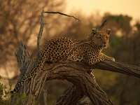 Leopard 7 © Jim Frost