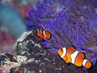 Clown fish © Robert Young