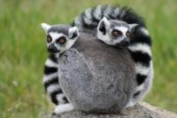 Lemurs at the Oakland Zoo © Treehgr