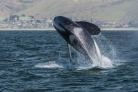 Orca at Morro Bay © Mike Baird