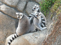 Ring-tailed lehmurs at Oakland Zoo © The Consortium