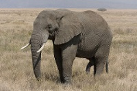 African Bush Elephant © wagon16