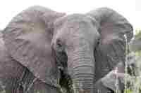 African Elephant © Bobisbob