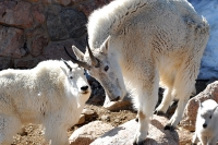 Mountain Goats, Mt Evans © Robertbody