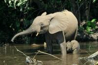 African Forest Elephant © Thomas Breuer