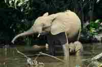 Forest elephants © Calliopejen