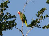 Cuban Parrot © dominic sherony