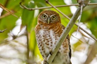 Cuban Pygmy Owl © Shawn McCready