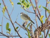 Zapata sparrow © dominic sherony