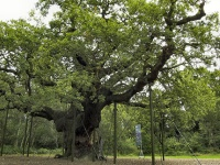 The Major Oak in Sherwood Forest © closelyobserved.co m