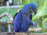 Macaw at Jungle Island © Dick Daniels
