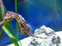 Seahorse at Gumbo Limbo © Lisa Jacobs