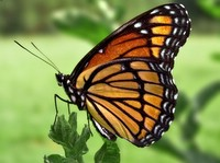 Viceroy Butterfly © PiccoloNamek