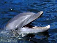 Dolphin, Florida Keys © www.fla-keys.com