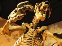 Giant Sloth Skeleton © www.swflmuseumofhistory.com