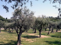 Olive Groves © Diane S Murphy
