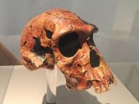 Homo habilis skull © Daderot