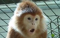 Lutung monkey © Josefma
