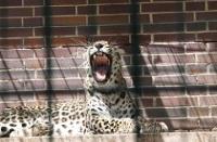 Leopard © Nigel Swales
