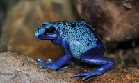 Blue Poison Dart Frog © Quartl