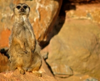 Meerkat at Attica Zoological Gardens © Antonis Lamnatos