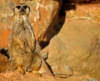 Meerkat at Attica Zoological Gardens © Antonis Lamnatos