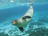 A monk seal © Doi