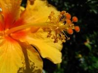 Yellow hibiscus © mauroguanandi