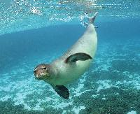 Monk Seal © flickker photos