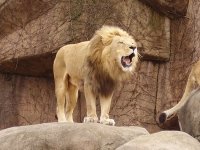 Lion at the Lincoln Park Zoo © Hot Dog Wolf