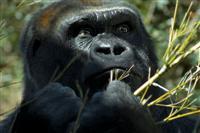 Gorilla at Lincoln Park Zoo ©