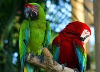 Macaws © Andrea Lawardi