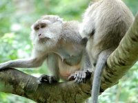 Balinese long-tailed Macaques © Sam Fraser-Smith
