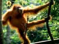 Orangutan © Dave59