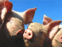 Piglets © Olddanb