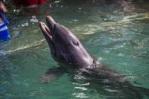 Bottlenose Dolphin © Adrian Lawrence