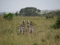 Zebra at Nairobi National Park © Luigi Guarino