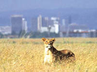 Nairobi National Park © Kenya Tourist Office