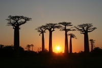 Avenue of the Baobabs © Gavinevans