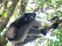 Indri lemur © Karen Coppock