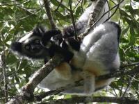 Indri Lemur © Pmarzio