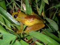 Frog, Ranomafana National Park © Axel Strauß