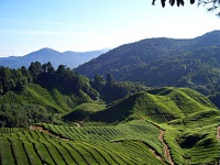 The Cameron Highlands © Will Ellis